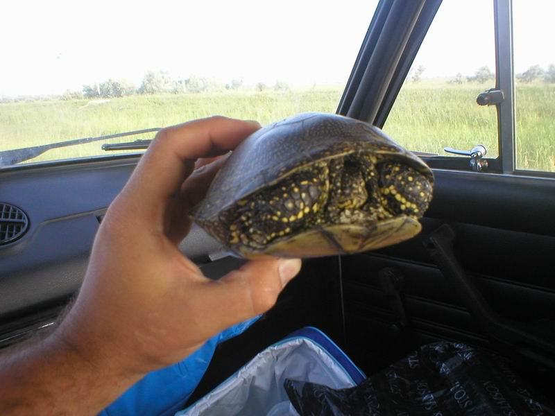 ...и перебегают черепахи.