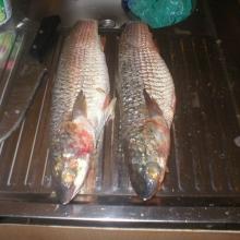 Рыба пеленгас...