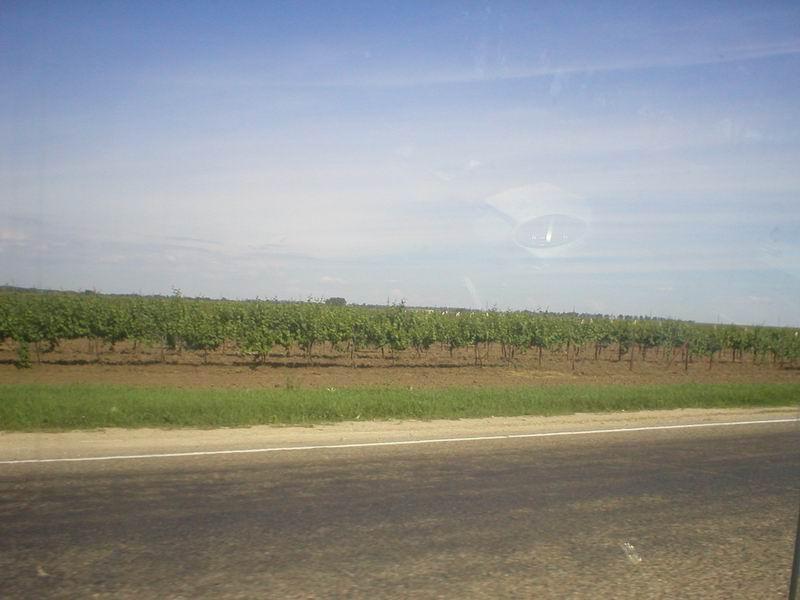 Кругом виноградники...