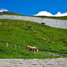 Альпийские коровы легко ходят по крутым склонам