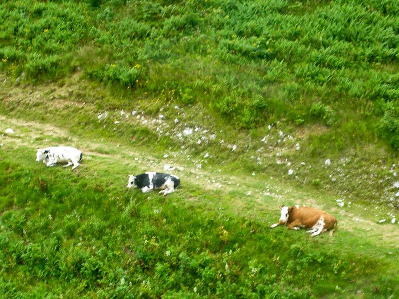 Отдыхающие альпийские коровы